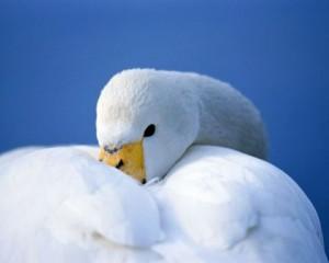 Прекрасная лебедь